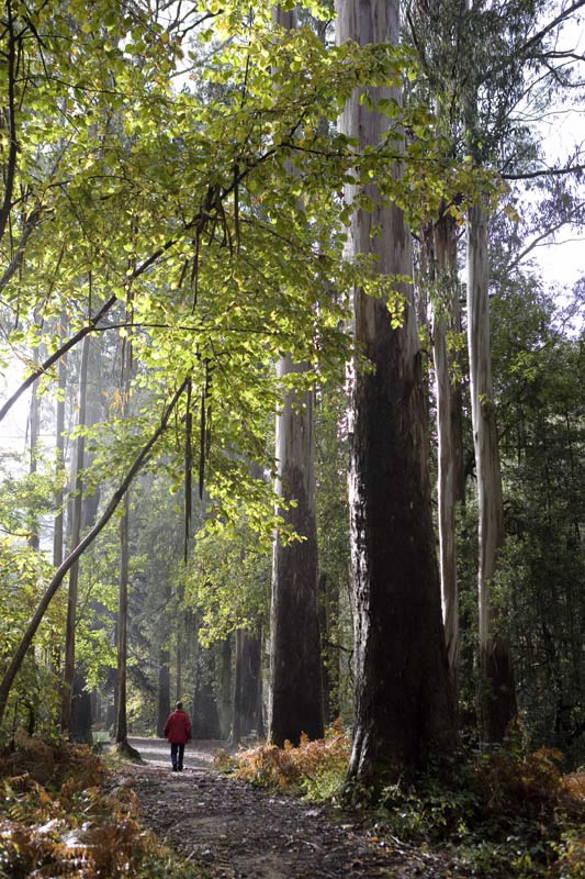 The Giant Eucalyptus Tree